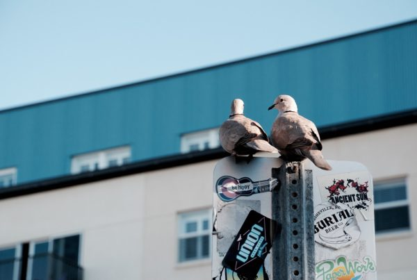 Pigeon 600x403 - Gołąb, kaczka i fotoradar